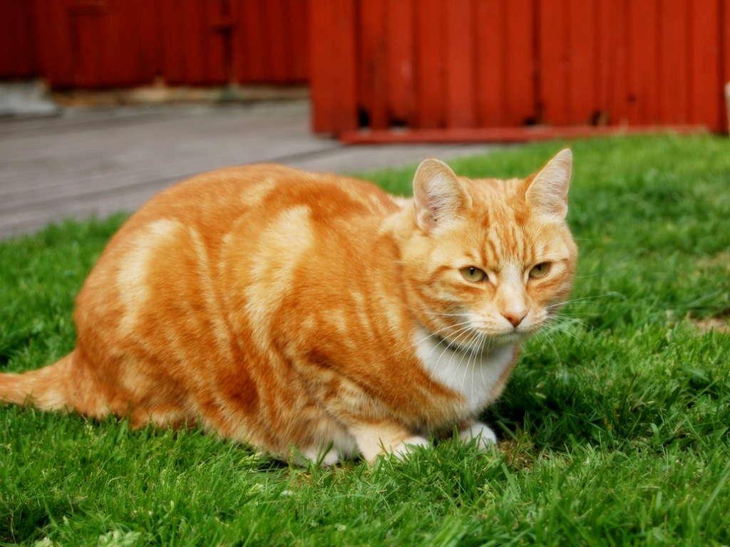 Кошка на лужайке