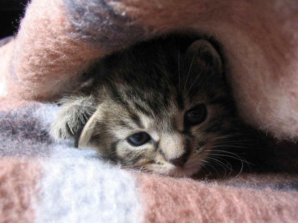 Котенок под одеялом