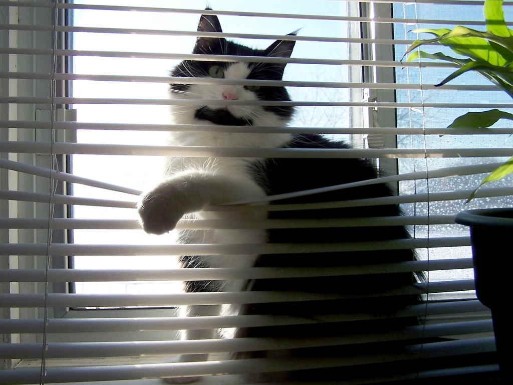 Кот за жалюзями