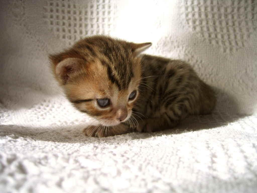 Котенок на пеленке