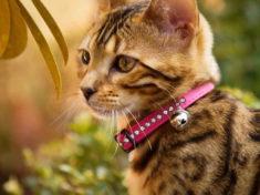 Кошка с ошейником