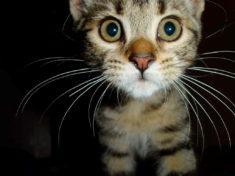 Усы котенка