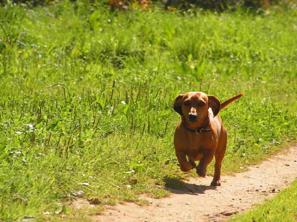 Собака бегает