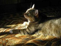 Кот на ковре