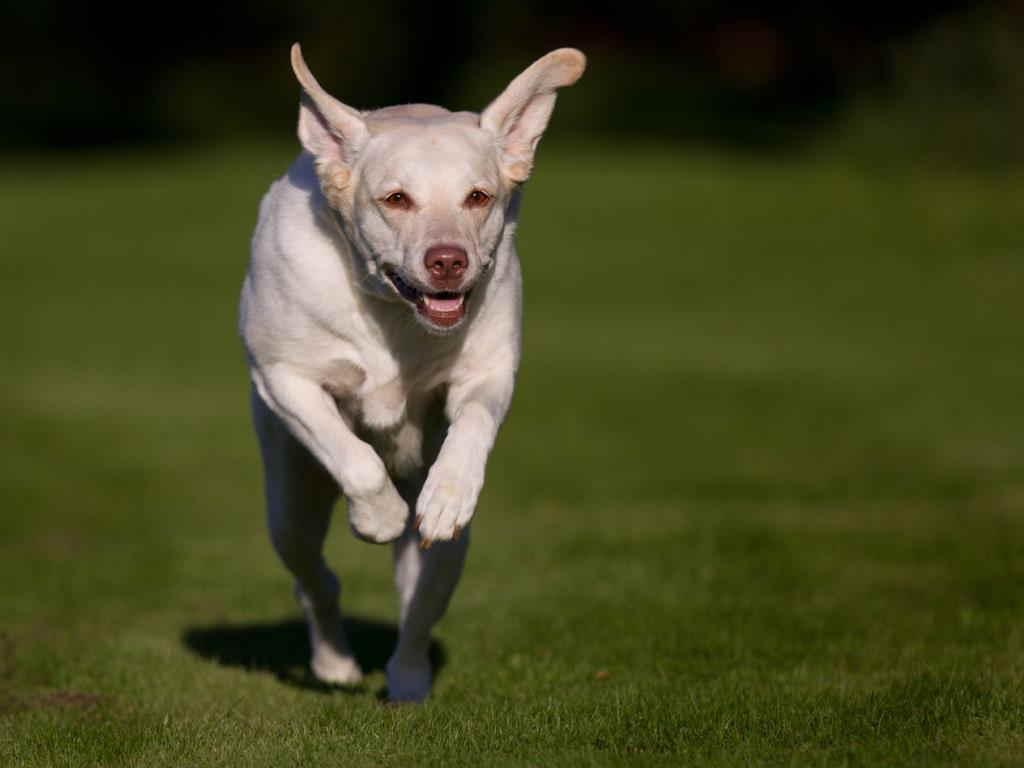 Лабрадор бежит