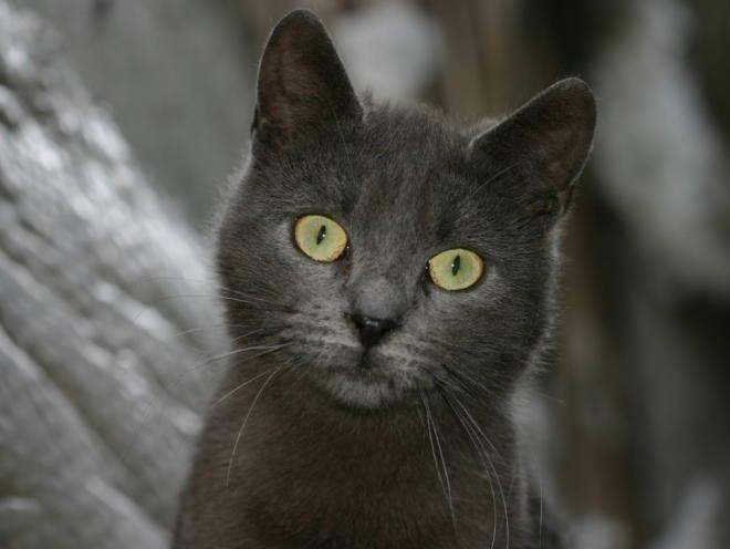 Серый кот внимательно смотрит