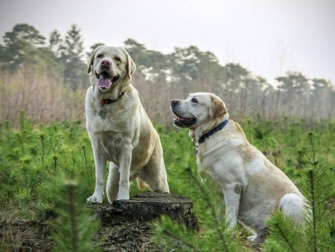 Собаки сидят среди елок