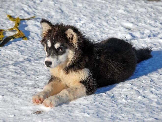 Щенок лежит на снегу
