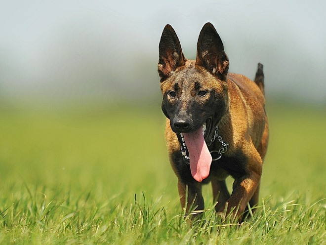 Довольный пес бегает на природе