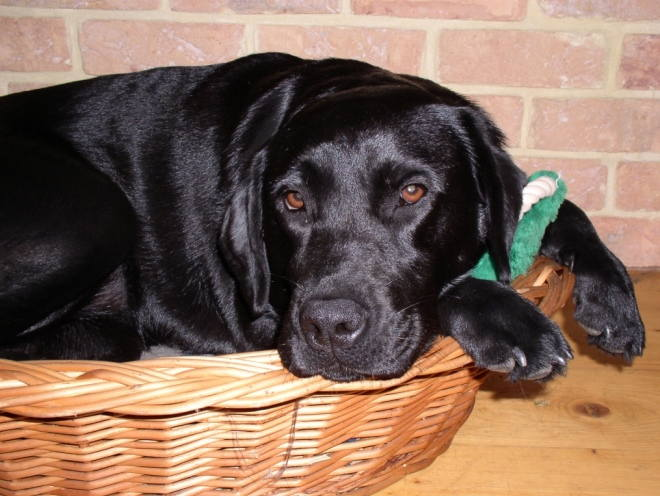 Собака грустит на своем лежаке