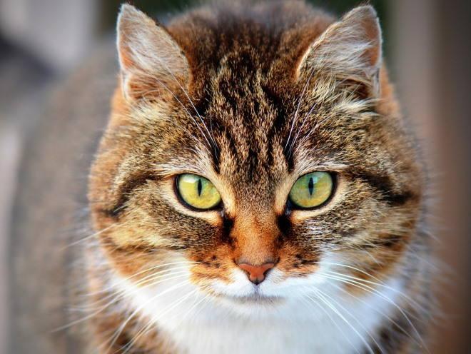 Кот пристально смотрит вперед