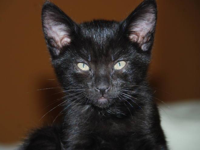 Черный котенок с чистыми ушами