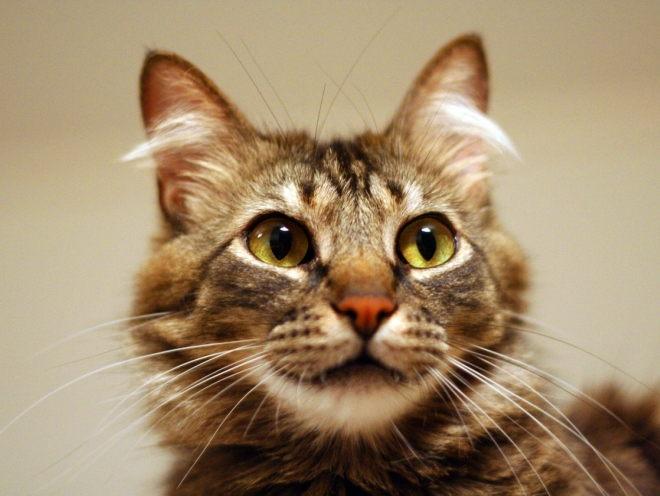 Кот с мохнатыми ушами