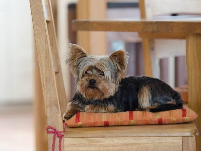 Собака лежит на кухонном стуле