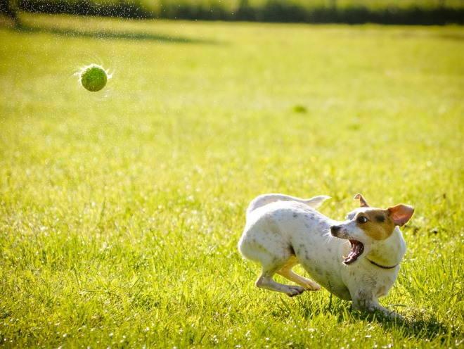 Собака бегает за мячом