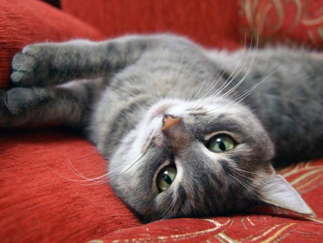 Кошка лежит и смотрит