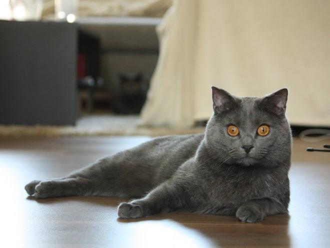 Серый кот лежит на полу