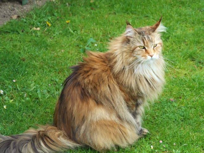 Кот сидит на зеленой лужайке