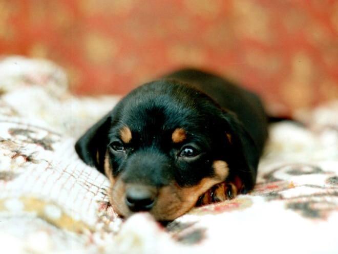 Маленький щенок лежит на простыне