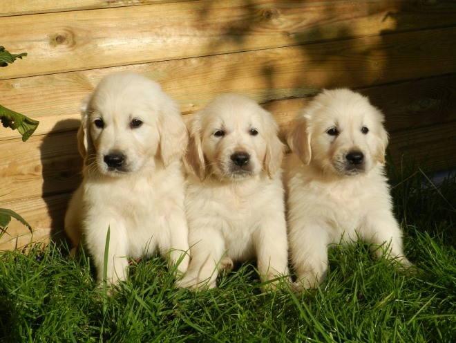 Щенки сидят на траве