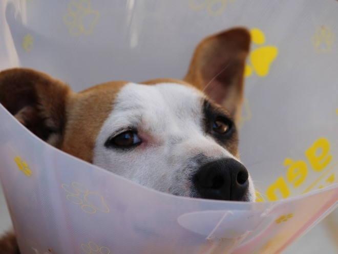 Собака носит пластиковый воротник