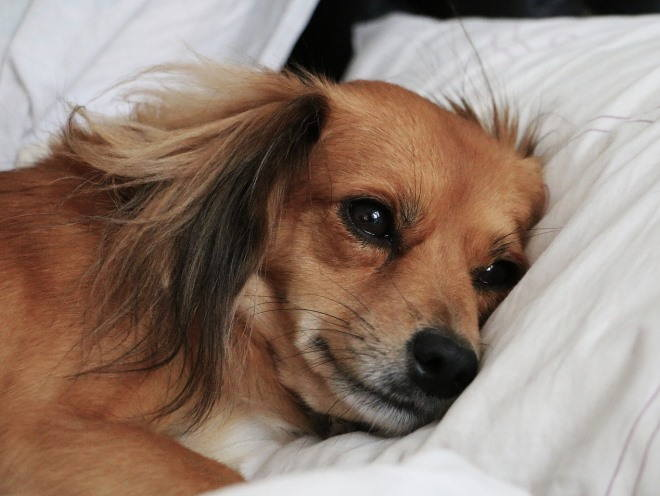 Собака лежит в кровати