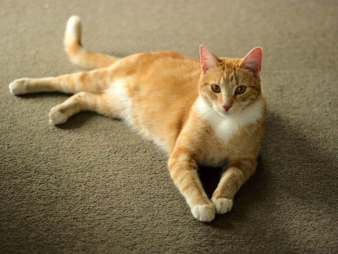 Кошка лежит в зале на ковре