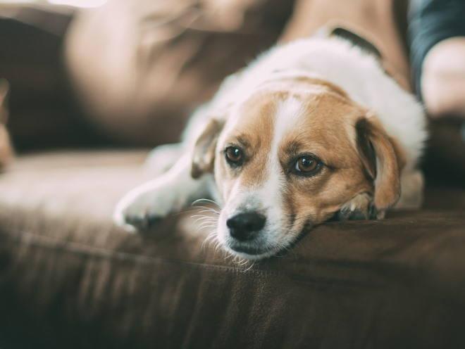 Собака легла на диван