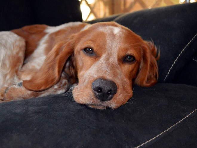 Собака отдыхает на диване