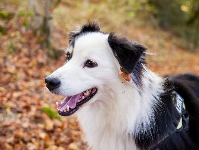 Собака бегает по осеннему лесу