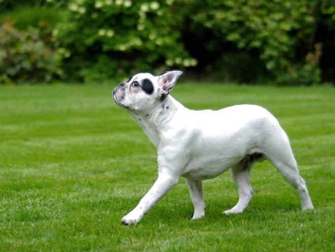 Собака идет с высоко поднятой головой