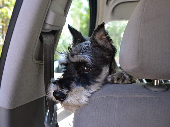 Собака смотрит в окно в машине