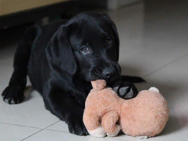 Щенок играет с игрушкой