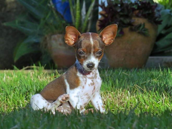 Маленькая собака сидит на лужайке во дворе