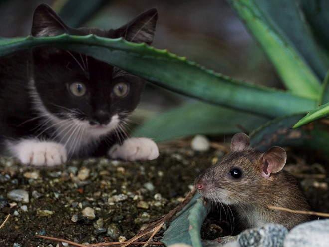Кошка увидела мышь в кустах