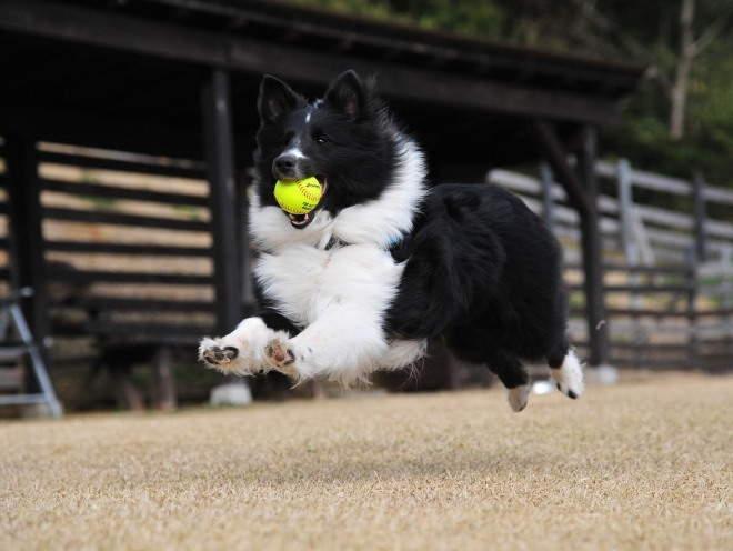Собака бегает с мячом