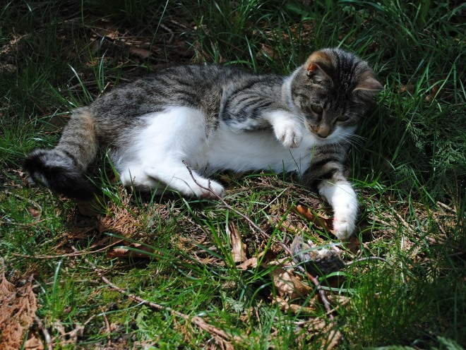 Кошка играет с пойманной мышью