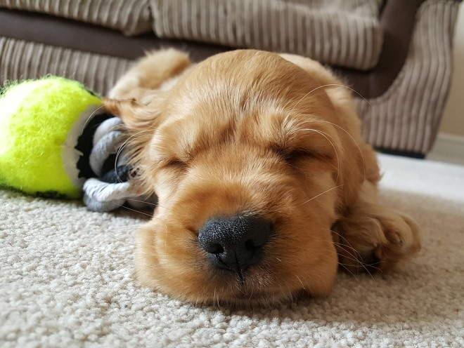 Щенок уснул на полу после игр