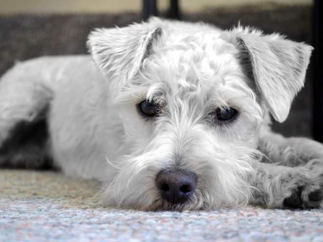 Пес лежит на полу грустный
