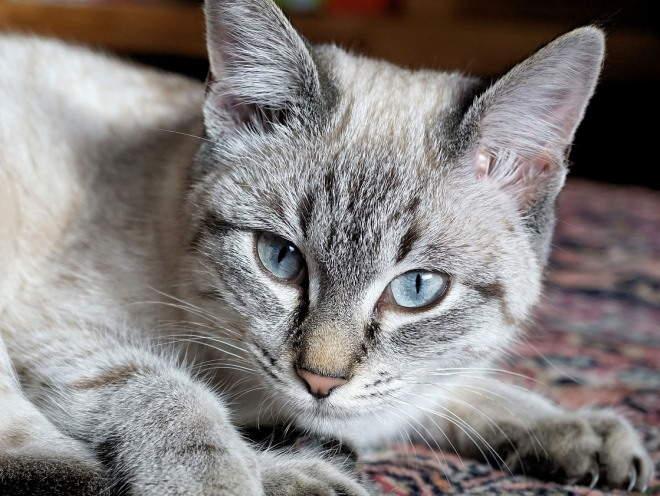 Кошка лежит свернувшись на ковре