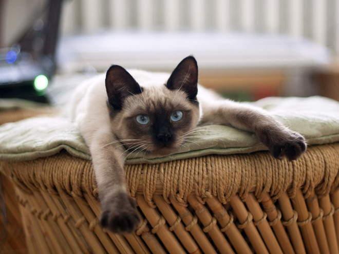 Кошка растянулась на лежаке