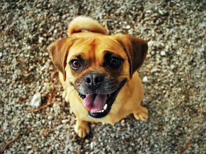 Собака запыхалась после игр на улице