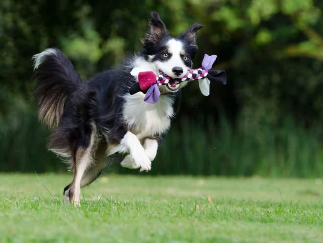Собака бегает по газону