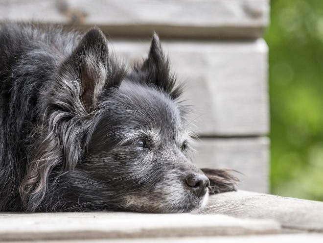 Старая собака лежит у порога