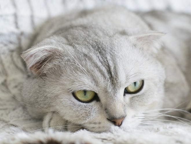Кошки лежит грустная
