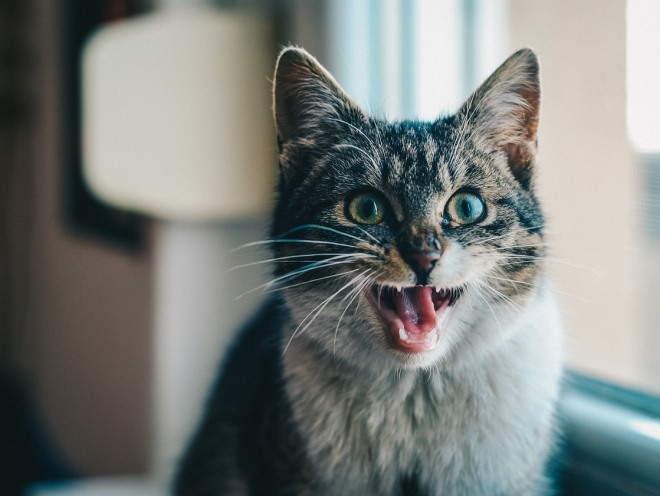 Кот сидит с открытым ртом