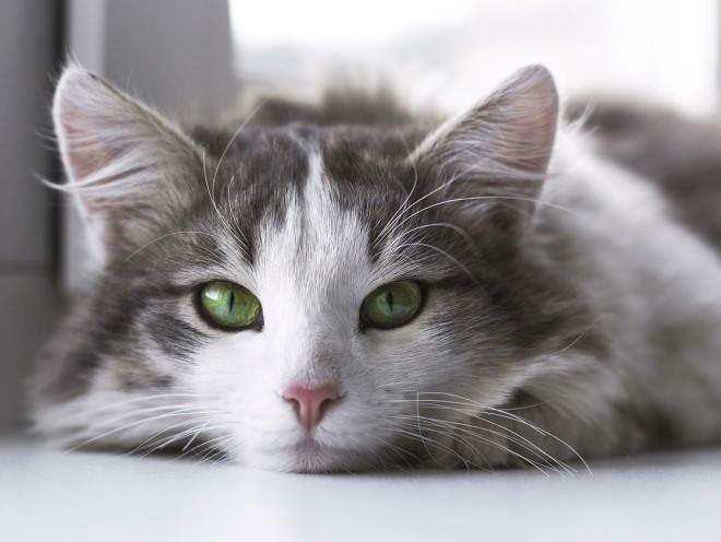 Кот лежит грустный у окна