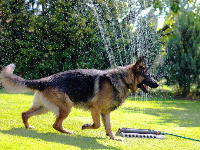 Овчарка бегает мокрой по участку