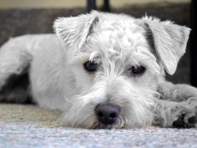 Собака лежит с грустным видом