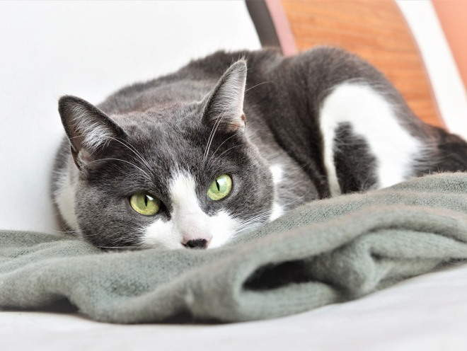 Кошка лежит на мягком пледе